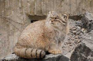 Pallus-cat