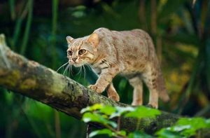 Rusty-spotted-cat