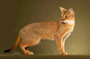The-Borneo-Red-Cats