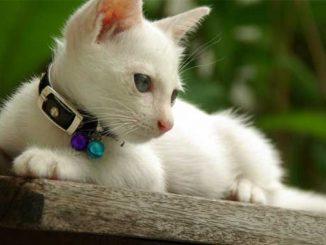 catwhite
