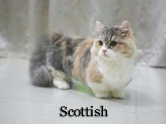 Scottish_cat