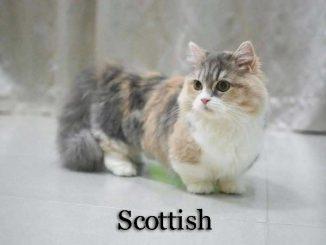 Scottish_cat