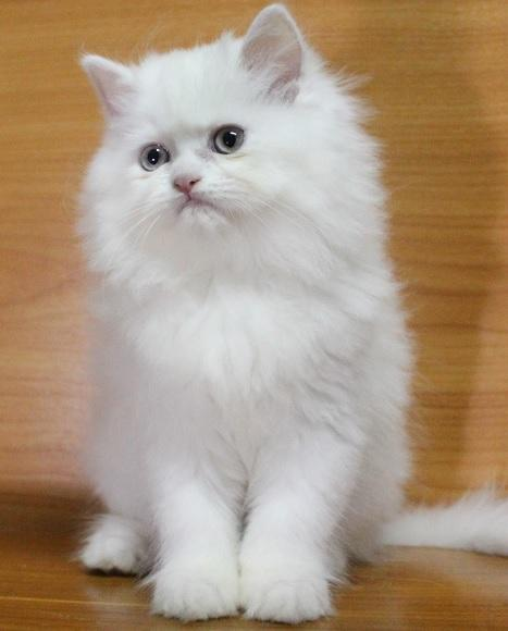 Persian catnewwpic456
