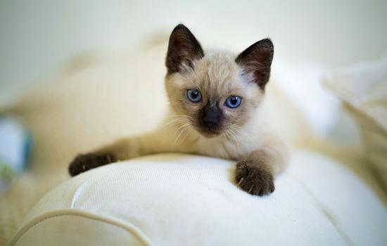Cat Wichianmas