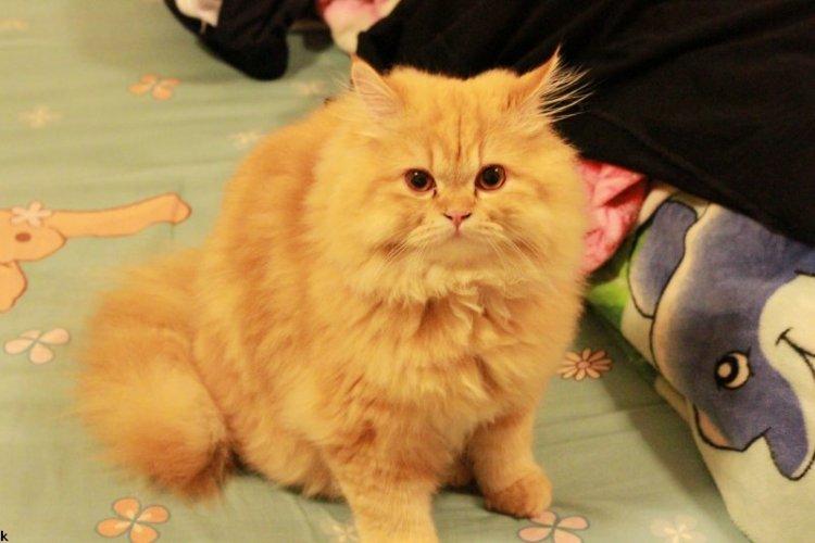 Cat Gafu