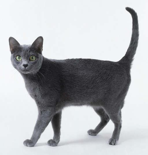 Roan cat