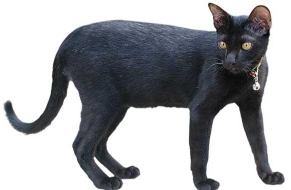 7 สายพันธุ์แมวที่สูญพันธุ์ – ประวัติแมวไทยสีสวาด แมวเปอร์เซีย และแมวพันธุ์อื่น  ทั่วโลก